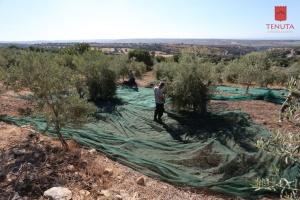 Raccolta Tradizionale delle Olive con Degustazione - Tenuta Chiaramonte