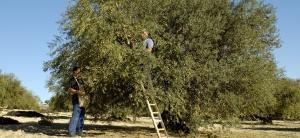 Raccolta delle Olive - Chiaramonte Gulfi